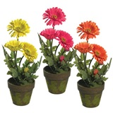 Gerbera Daisy Potted Plants - 15 in.